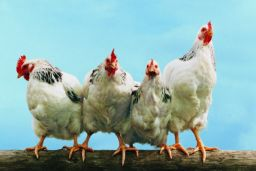 Taiwan poultry