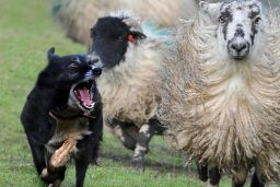 Dog attacks on livestock