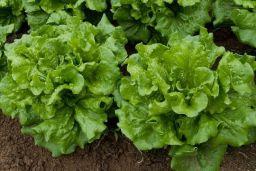 California lettuce