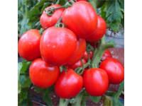 Semente de Tomate Híbrido Cienaga Seminis