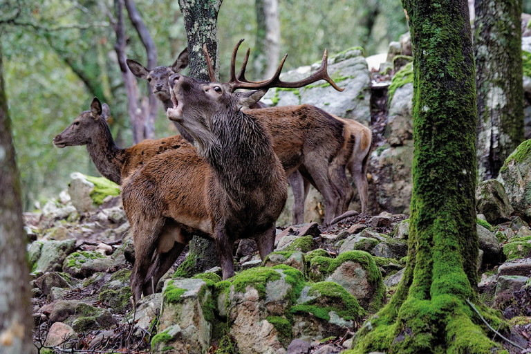 Cervo sardo - Località: Monti di Is Cannoneris , Sulcis,Sardegna meridionale