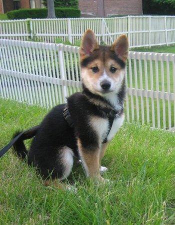 Fantastic Indoor Chubby Adorable Dog - Shiba_inu_puppy_black_and_tan_yoshi_c6xsfr  Trends_861291  .jpg