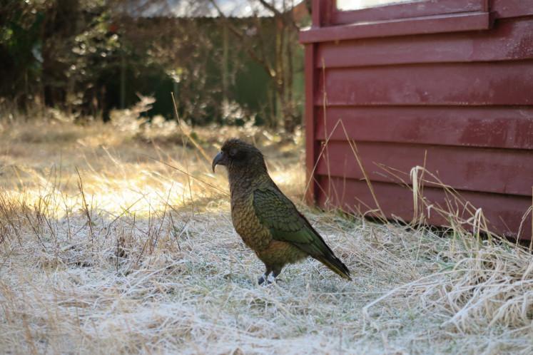 Papoušek Kea v Arthur's pass