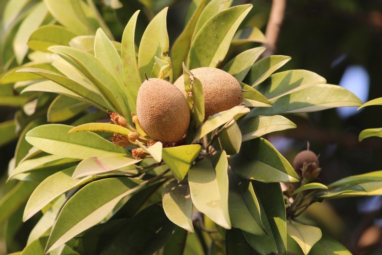 Plod ovoce Sapodilla na stálo zeleném stromě