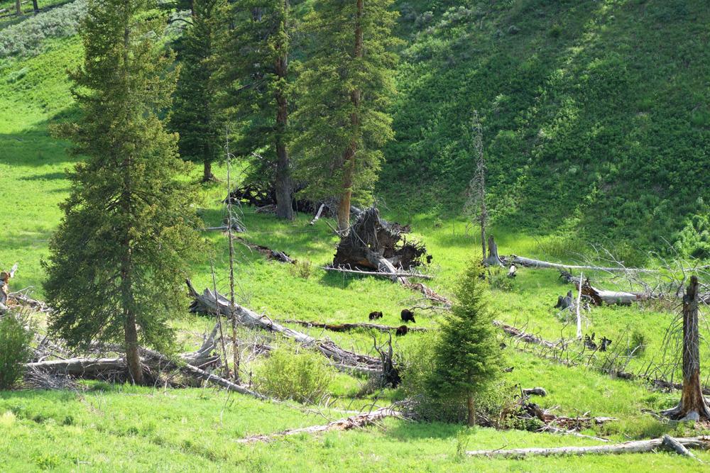 Medvědí rodinka u Petrified forest