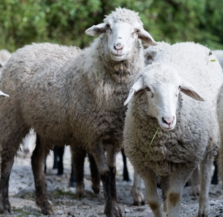 Natural Wool from Sheep