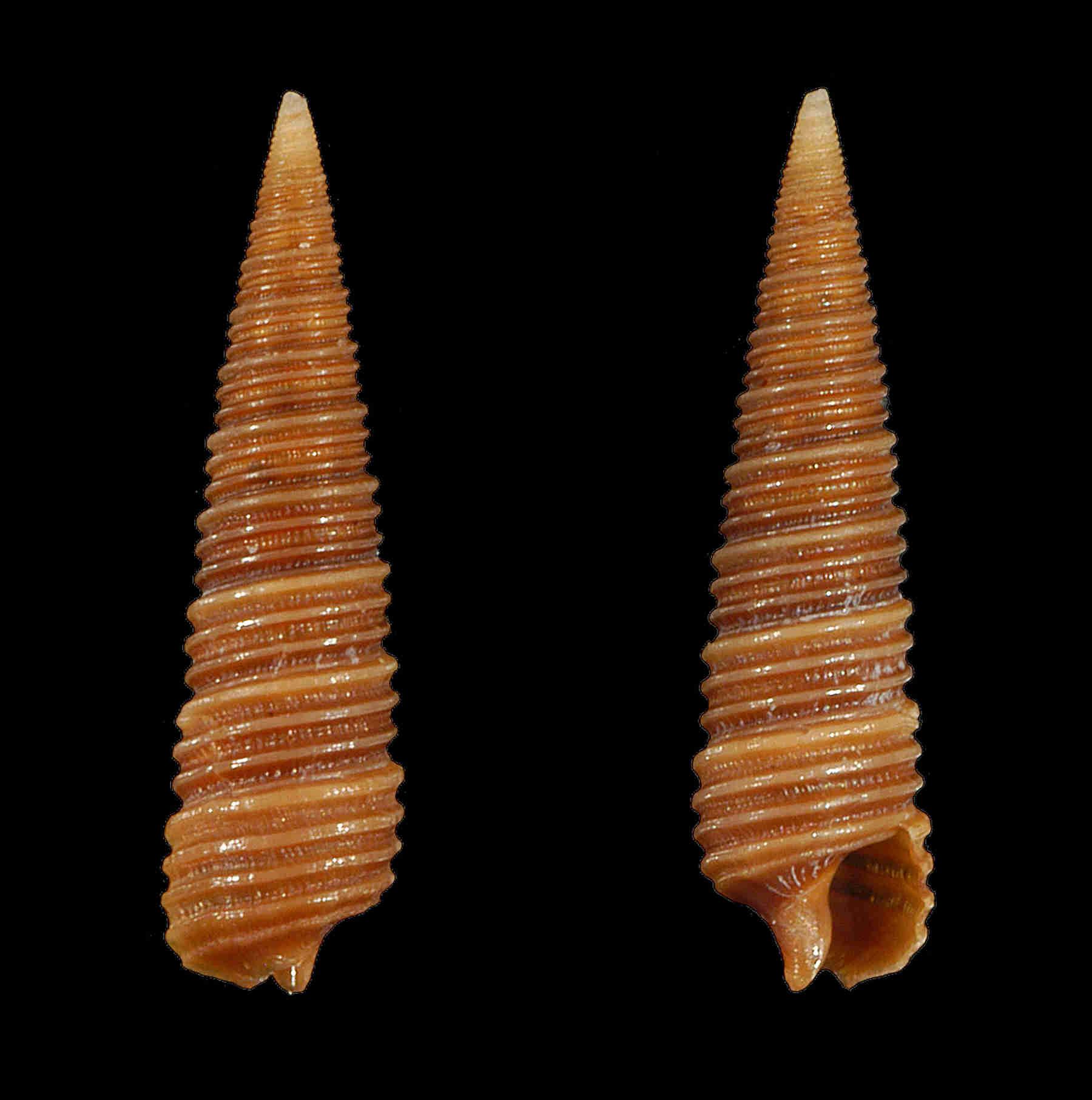 Adams Miniature Cerith