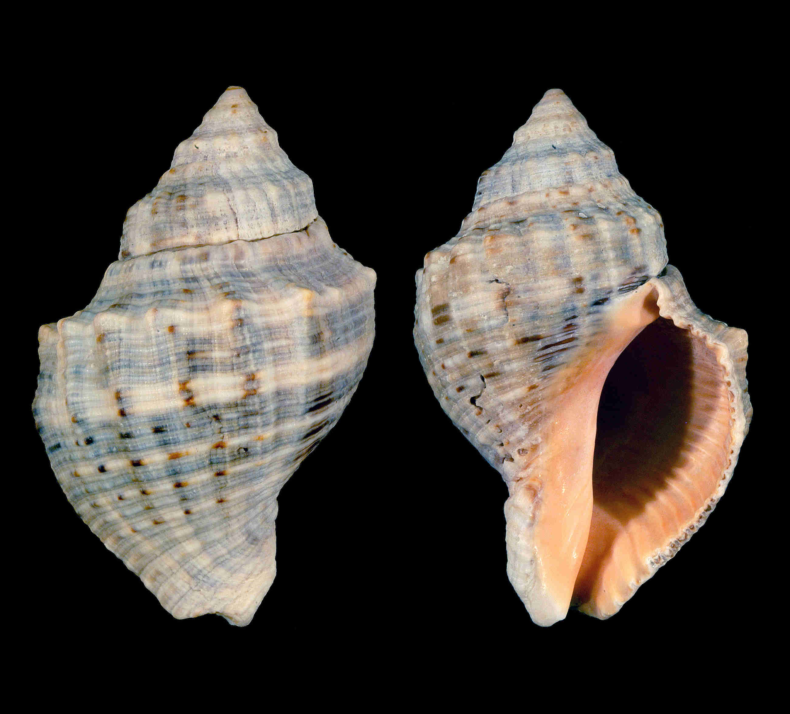Florida Rock Snail