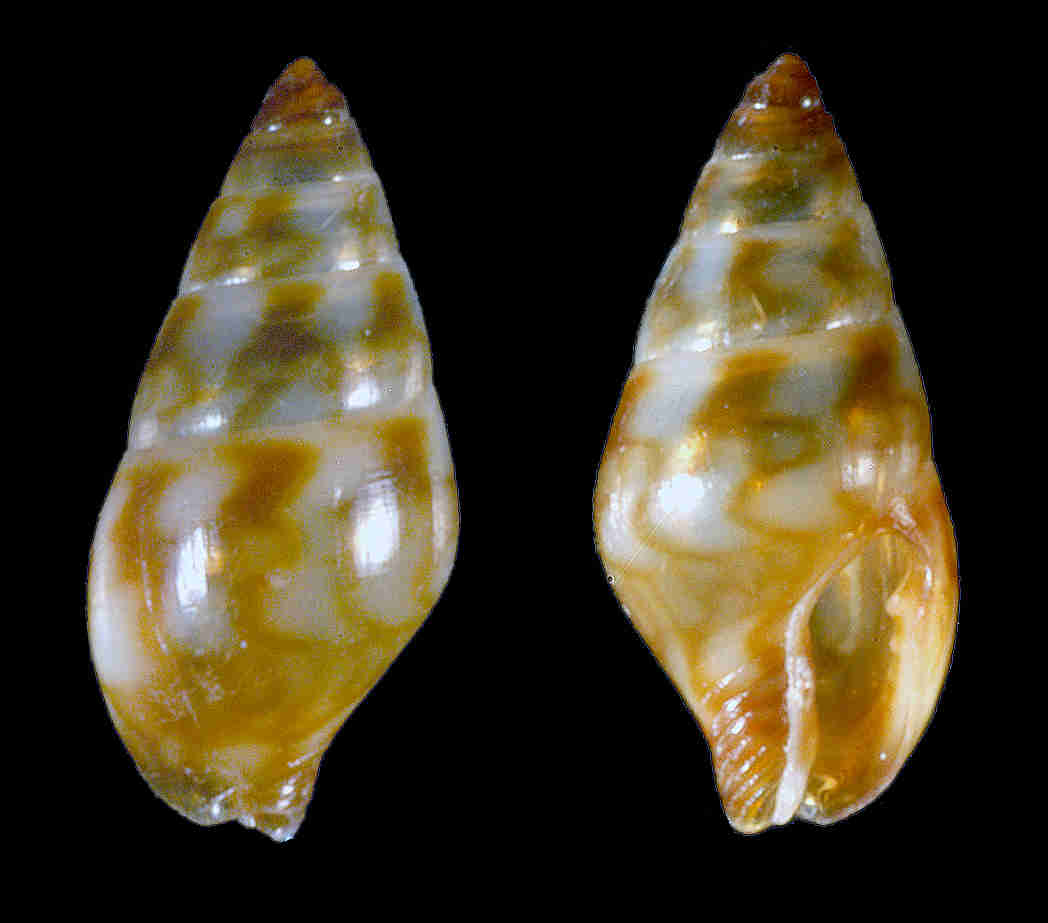 Lunar Dove Snail