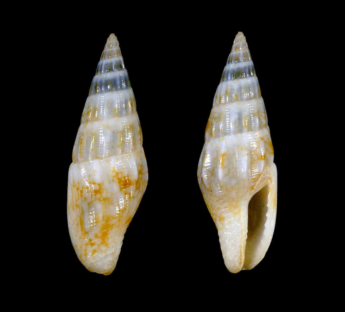 Gulf Dove Snail