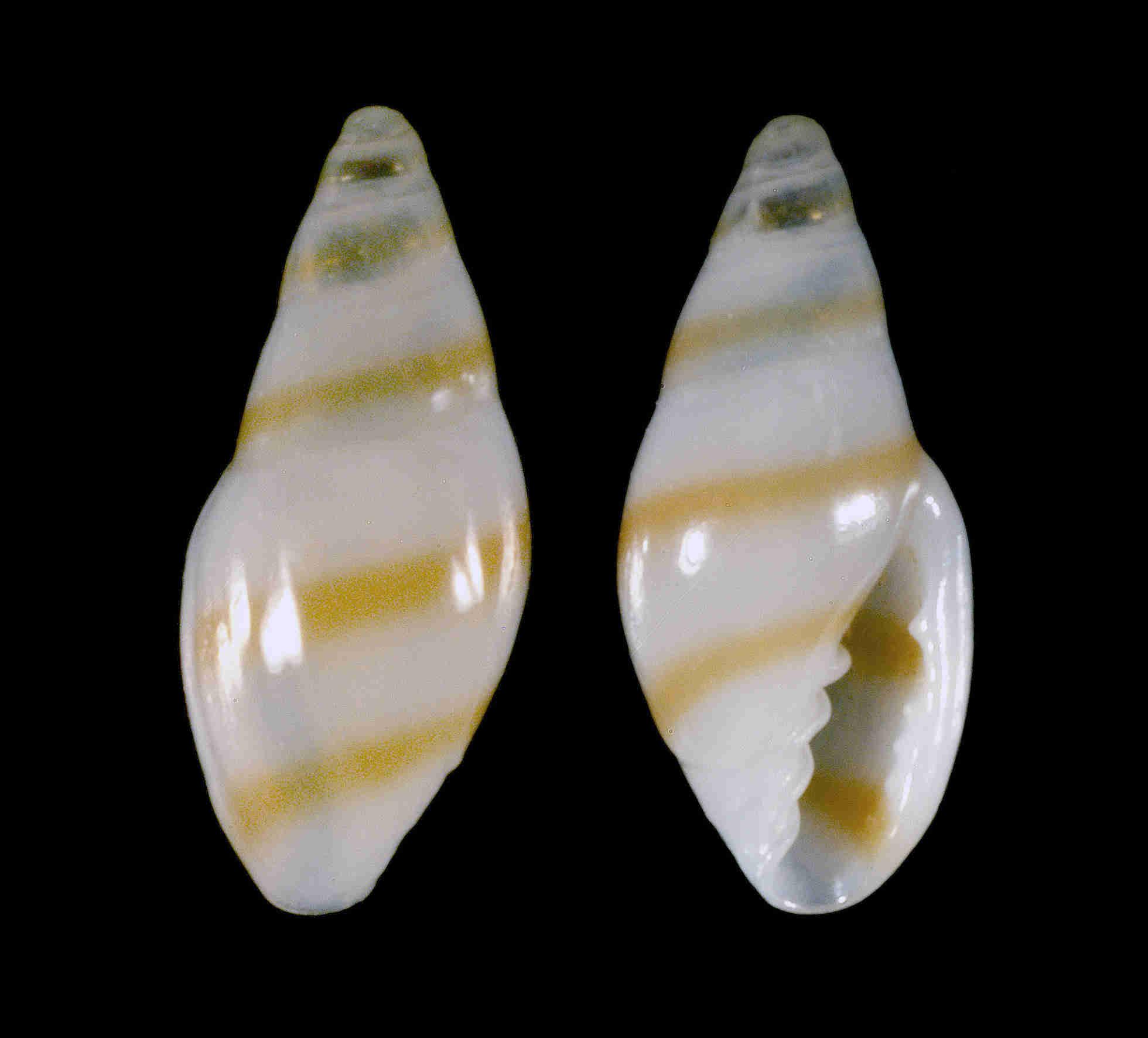 Gold-line Marginella