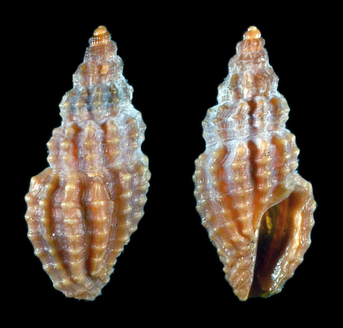 Plicate Mangelia