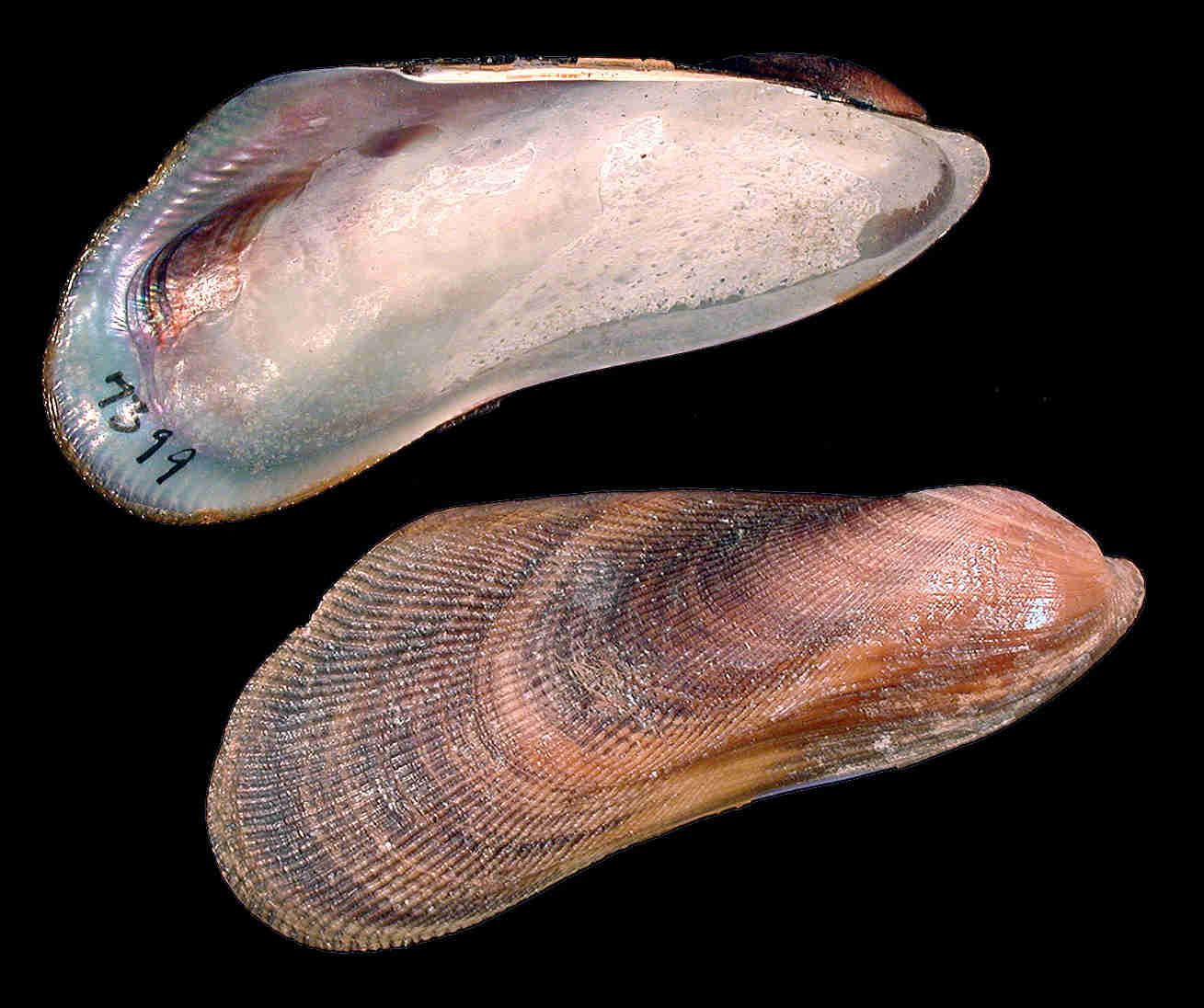 Southern Ribbed Mussel