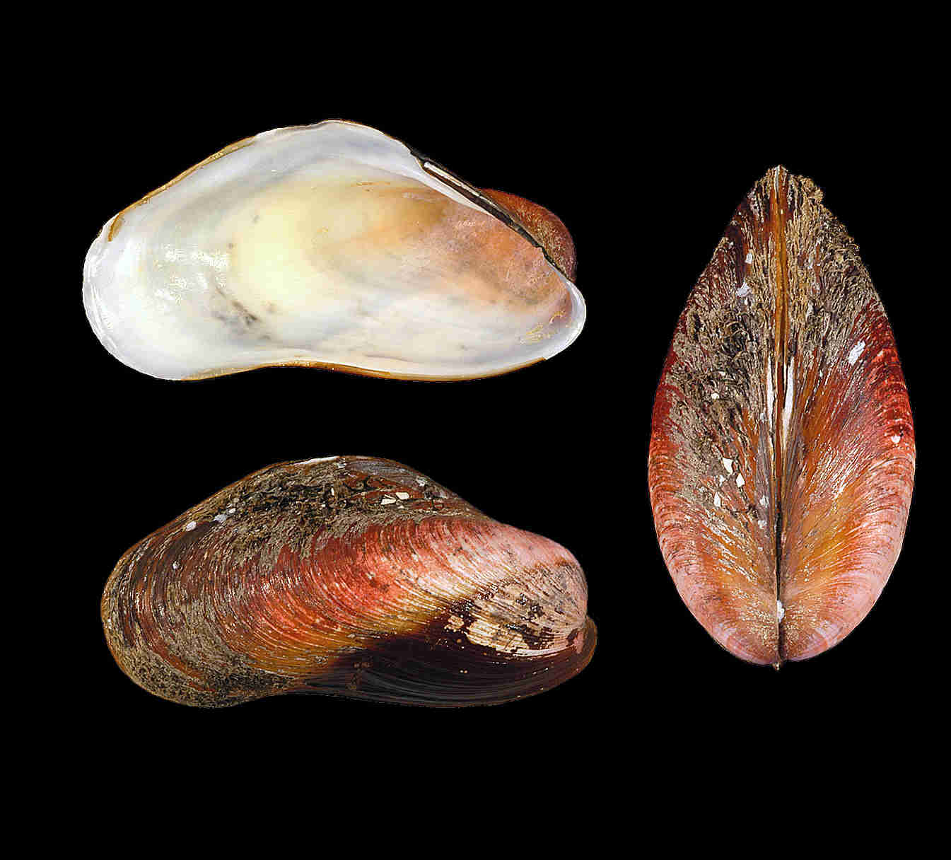 American Horse Mussel