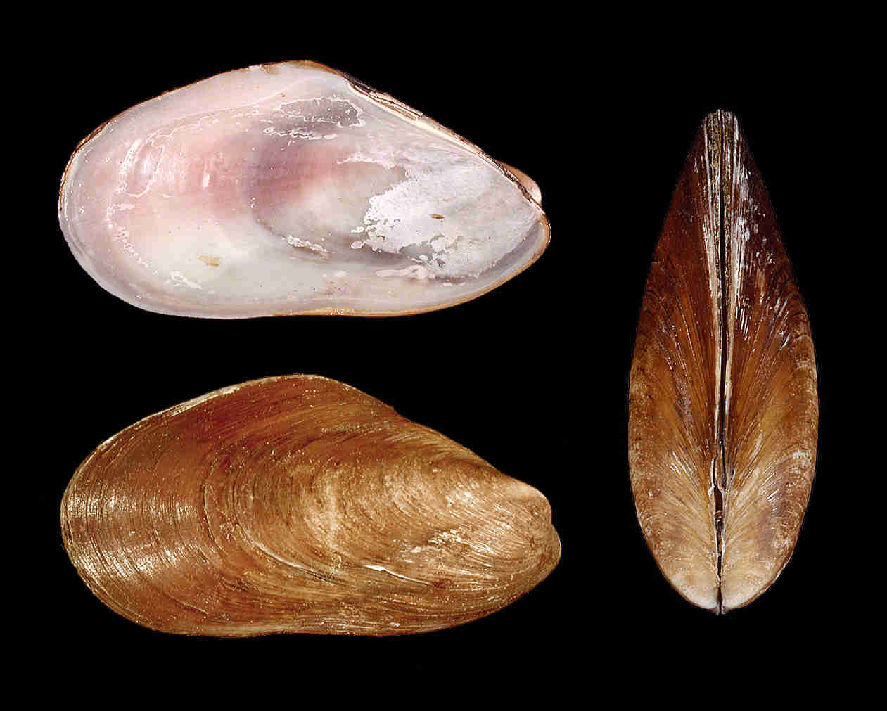 Southern Horse Mussel