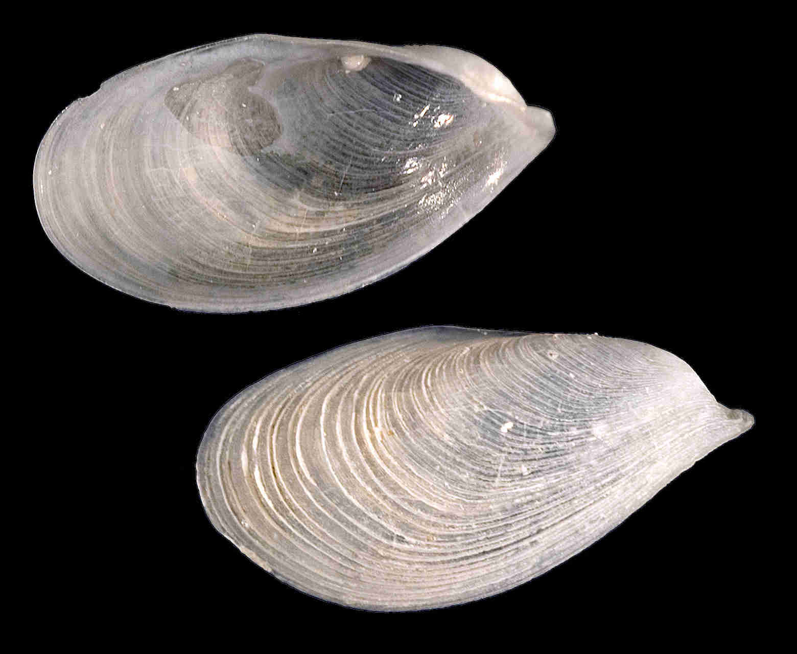 Winged Chimney Clam