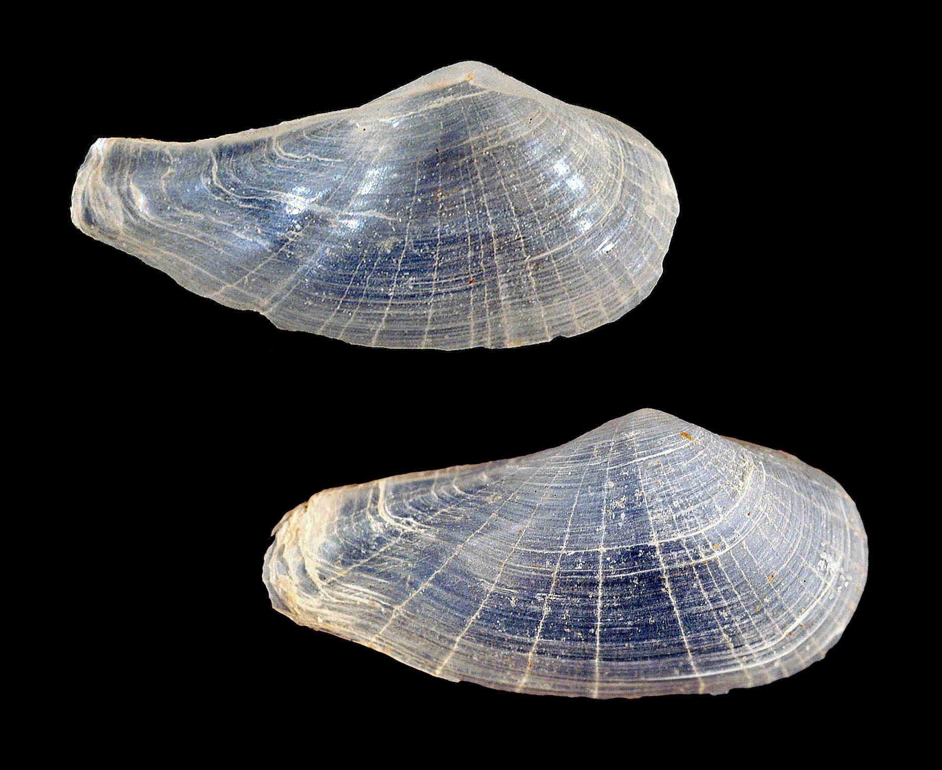 Glassy Lyonsia