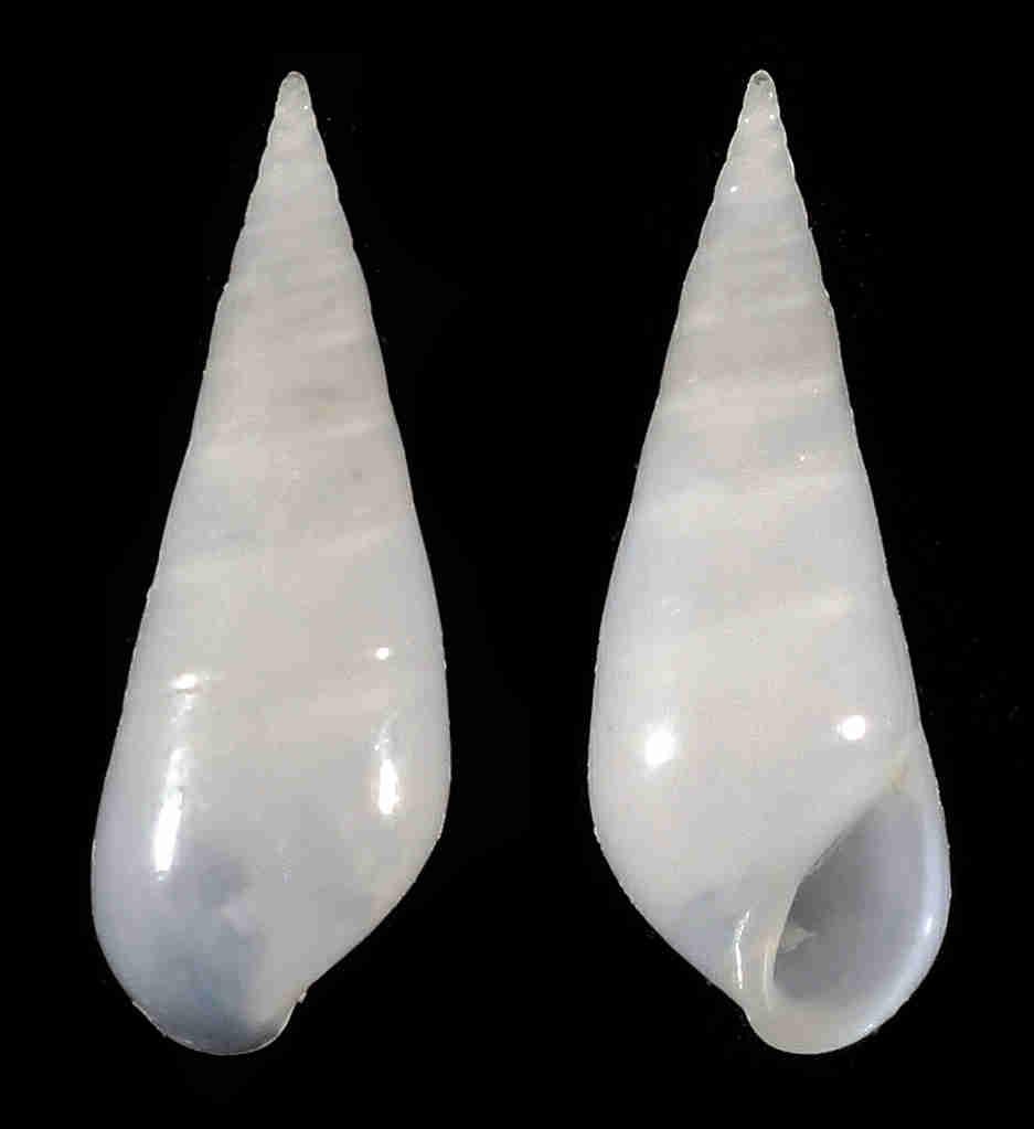 Ivory Eulima