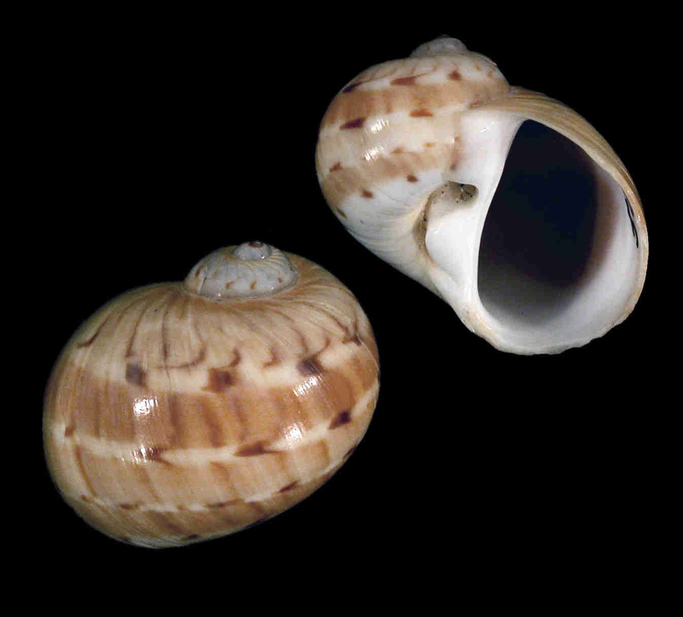 Colorful Moon Snail