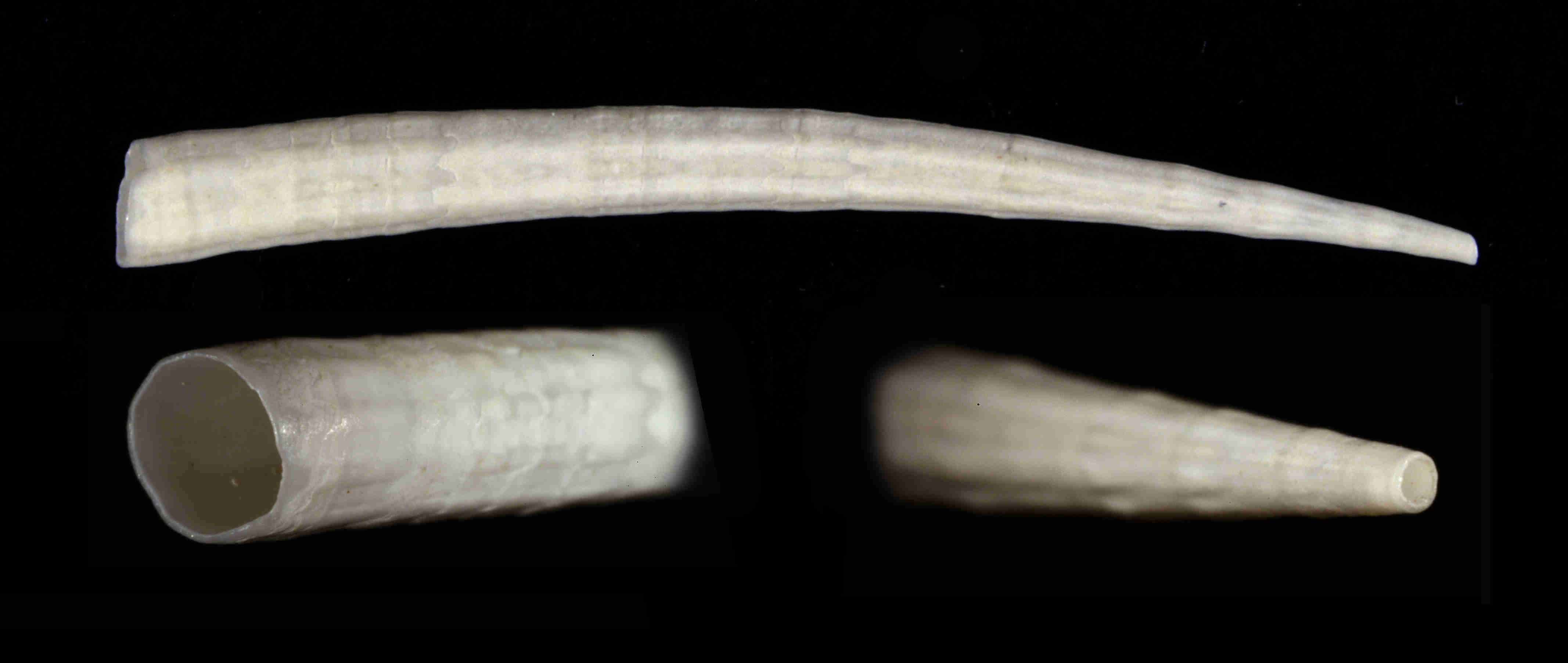 Reticulate Tusk Shell