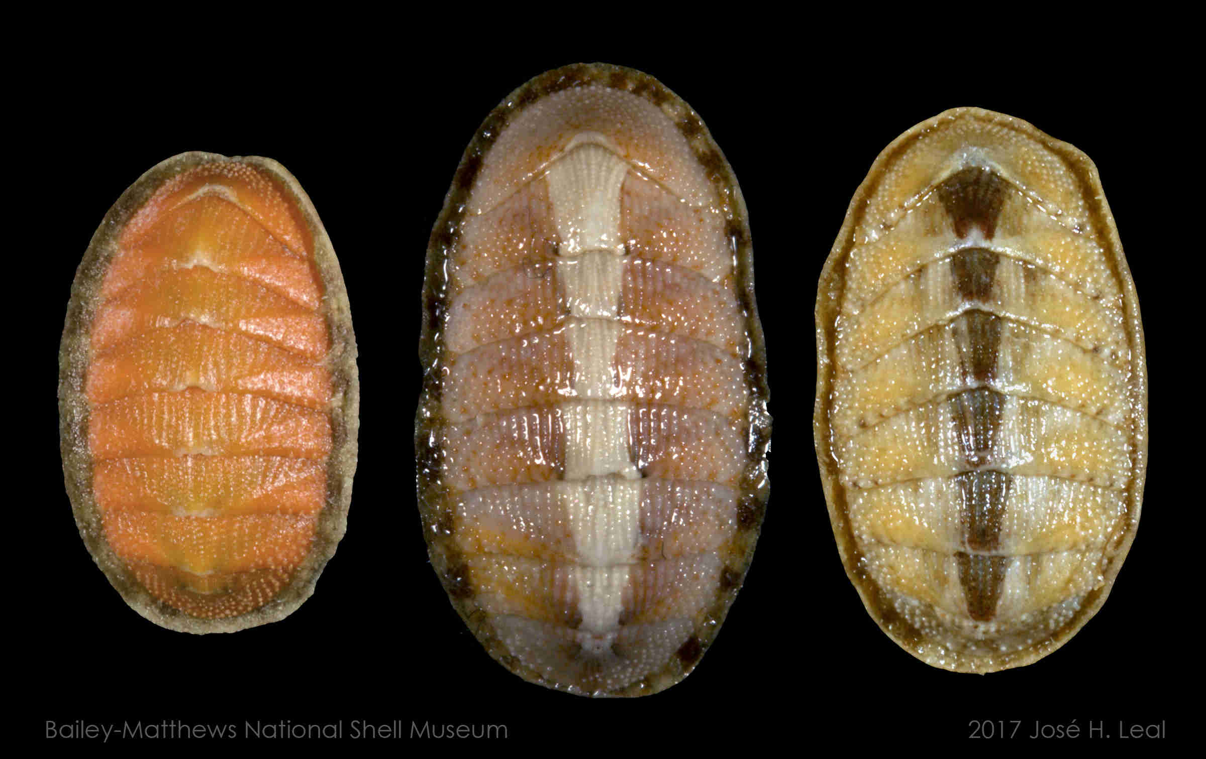 Eastern Beaded Chiton