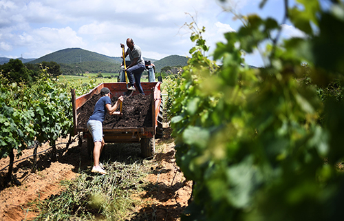 Vinegrowers from the Cotes de Provence in Figuiere spread earthworms around the vines as an experimental approach, hoping to enrich the naturally poor soils of the region.