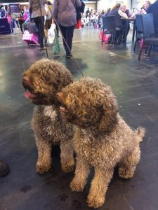 Two water dogs at crufts