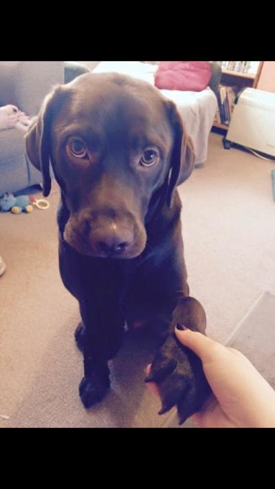 A Labrador shaking hands
