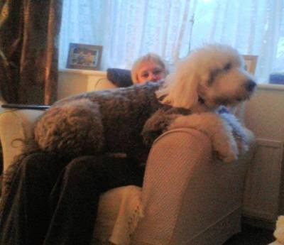 A big dog sitting on a person's lap