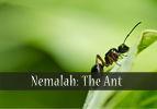 Nemalah: The Ant