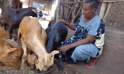 donate a goat - Woinshet feeding her goats