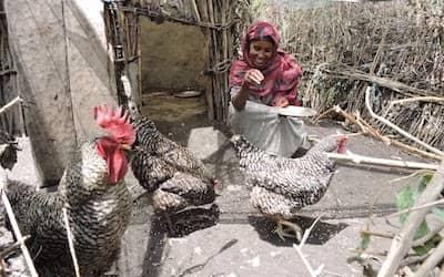 buy charity chickens - Medina feeding her chickens in the chicken pen