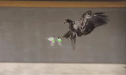 Polisi Belanda Latih Burung Elang Untuk Lumpuhkan...