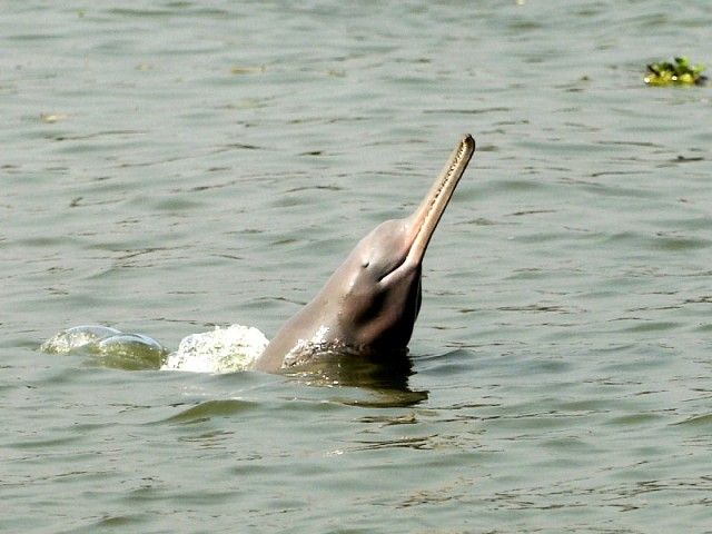 About Indus Blind Dolphin