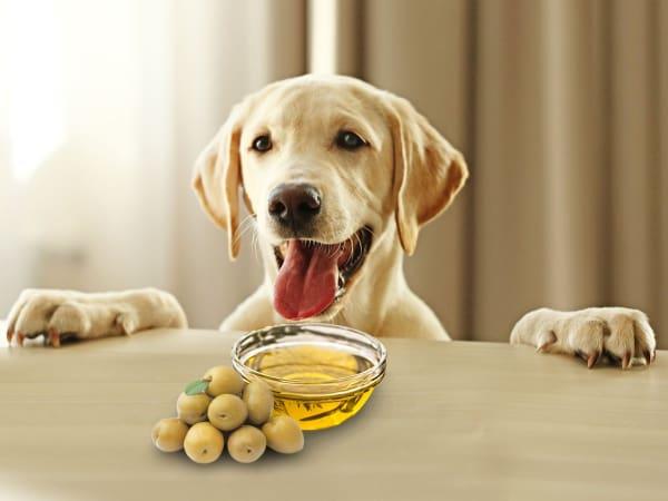 huile colza poil chien
