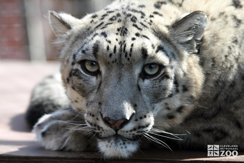 Female snow leopard (headshot Stock Photo, Royalty Free Image ...