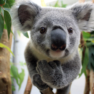 Koala tail - photo#11