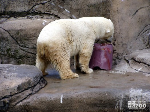 Polar Bear Enrichment at Creature Comforts 2