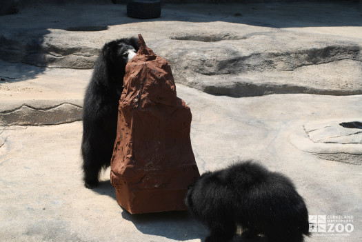 Sloth Bear Enrichment 3