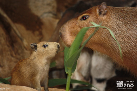 Baby Capybara with Adult