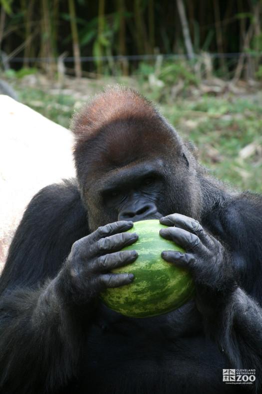 Gorilla Discovering Melon 2