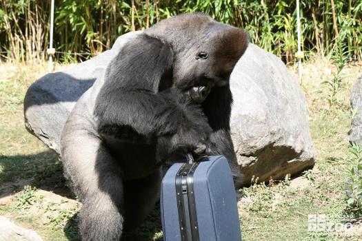 Gorilla With Suitcase