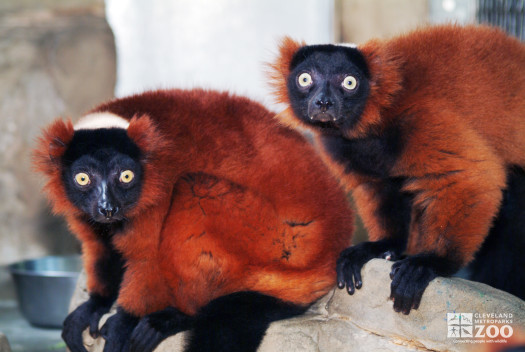 Red Ruffed Lemurs on Rock