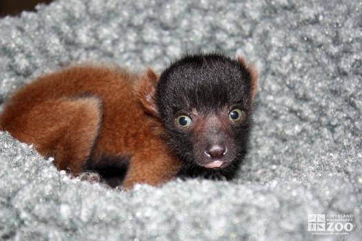 Red Ruffed Lemur Baby