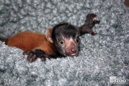 Red Ruffed Lemur Baby Hanging On