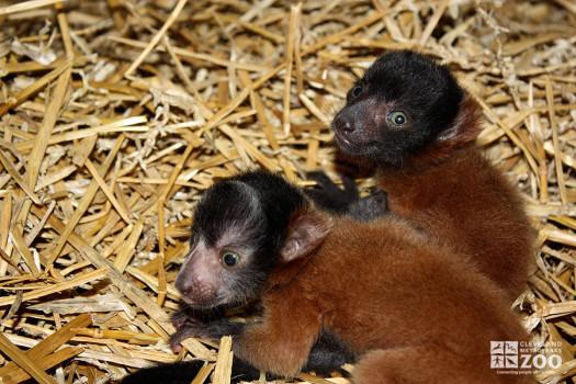 Red Ruffed Lemurs on Straw