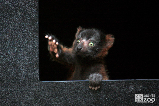 Red Ruffed Lemur in a Window