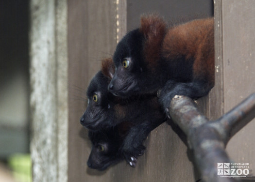 Red Ruffed Lemurs Three in a Window