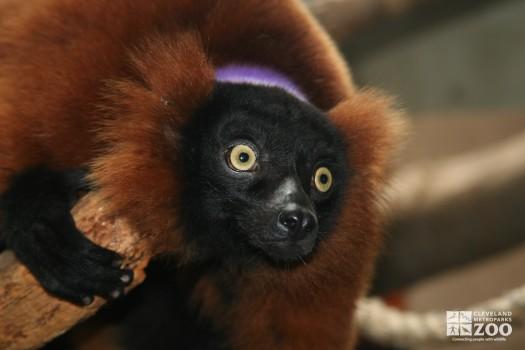 Red Ruffed Lemur Wide Eyed
