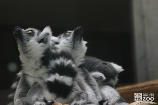 Ring Tailed Lemurs Looking Up